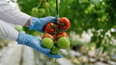 Photo of Junk Science? Number 44: GM Tomatoes to cure Heart disease and more?!
